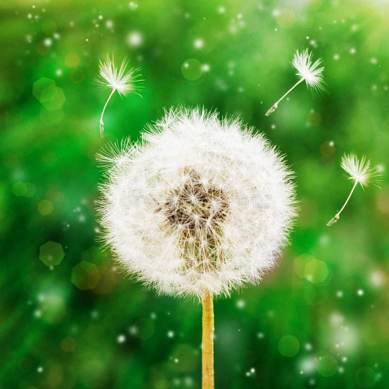 Dandelion seeds in the morning sunlight blowing away across a green background royalty free stock photo