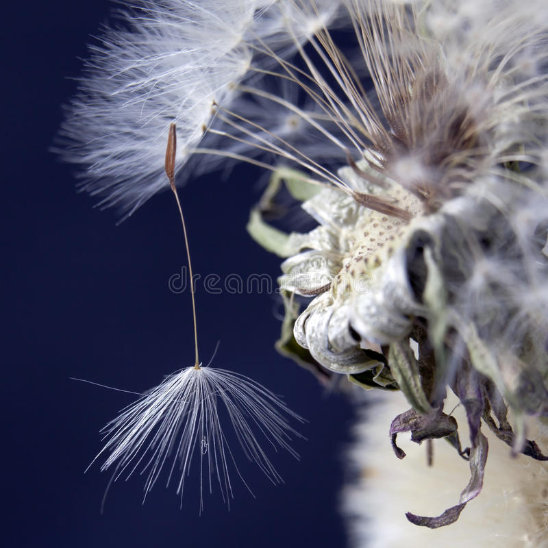 The Dandelion With Seeds Ready For Dispersal Isolated On