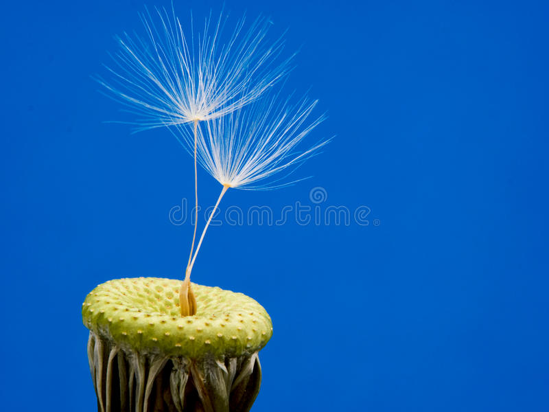 Dandelion seeds. Ready to fly royalty free stock image