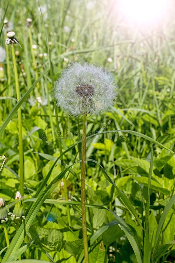 Dandelion seeds round fluffy hat of ripe flower of dandelion with ray of sunshine highlight. Wild Dandelion in the high green. Dandelion seeds round fluffy hat royalty free stock photo