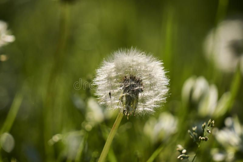 Dandelion with seeds in sharp focus and mosquito stock image