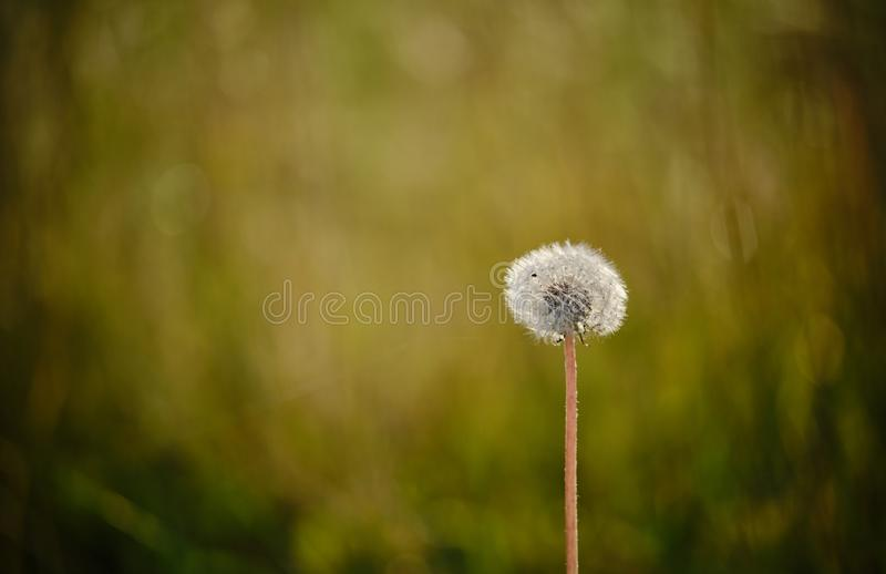 Dandelion seeds in the sun. A ball of dandelion seeds in the sun stock image