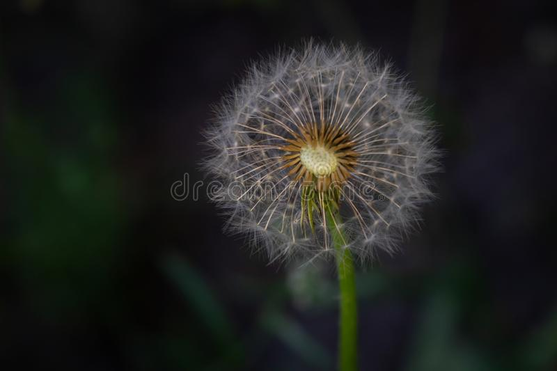 Dandelion seeds in the sunlight blowing away across a fresh green morning background stock photography