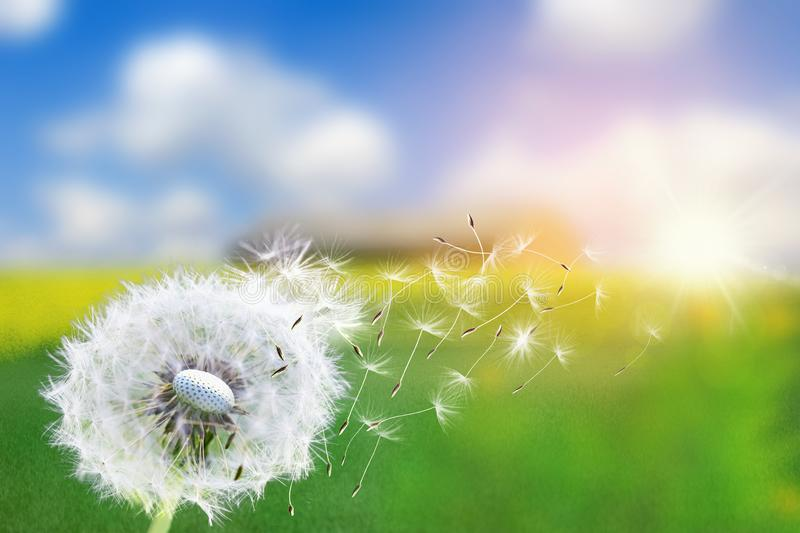 Dandelion seeds in the sunlight blowing away across a fresh green morning background royalty free stock images