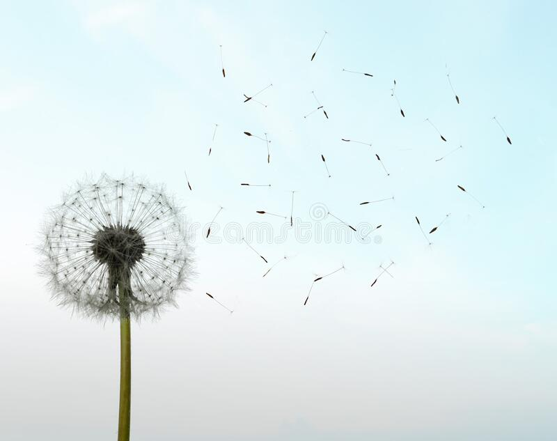 Dandelion seeds in the sunlight blowing away in sthe sky royalty free stock photography