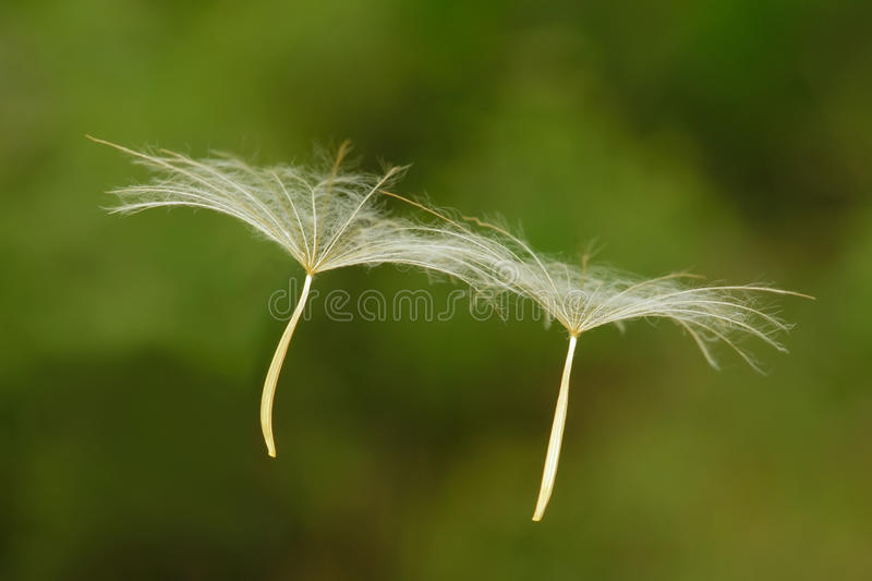 Dandelion seeds. Two dandelion seeds are floating on air stock photography