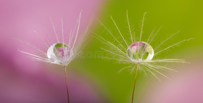Dandelion seeds with water drop. Dandelion seed with water drop - macro photo royalty free stock photography