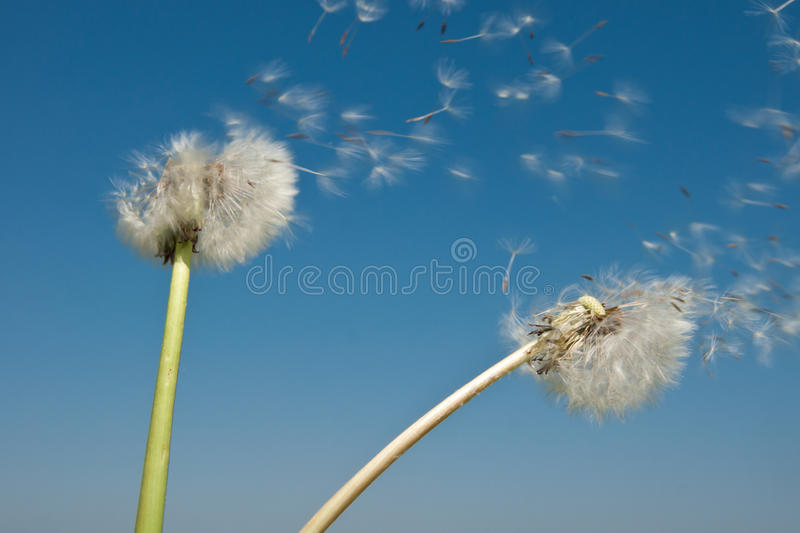 Dandelion Seeds in the Wind. Dandelion seeds blowing in the wind royalty free stock photos