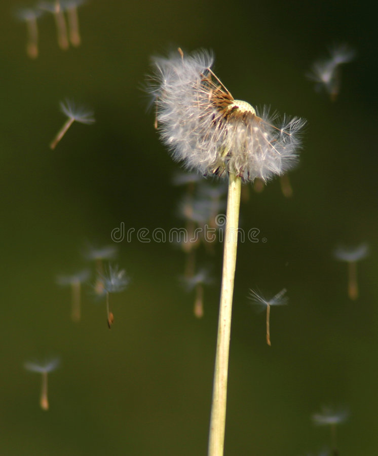 Dandelion Seeds in the Wind. Make a wish on this Dandelion Flower (Taraxacum officinalis) with its seeds being blown on the wind royalty free stock photos