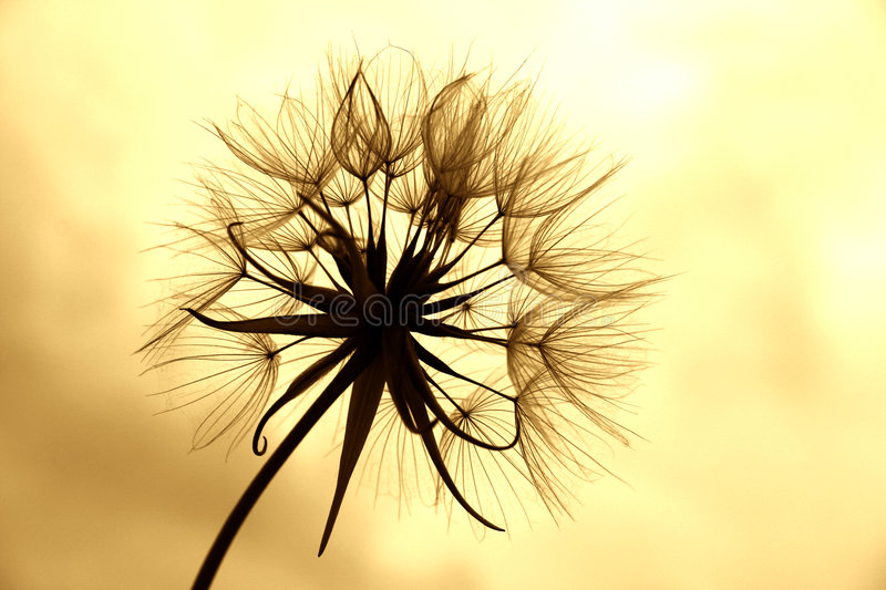 Dandelion in sepia stock photo