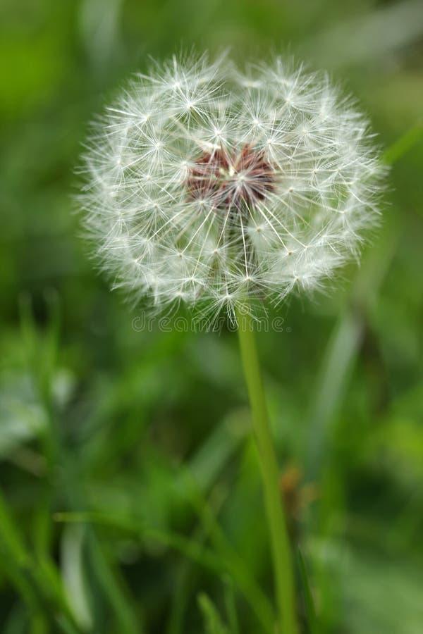 Dandelion sia abstrakcjonistycznego tło fotografia stock
