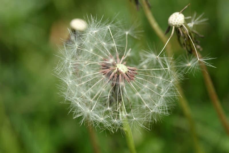Dandelion sia abstrakcjonistycznego tło zdjęcie stock