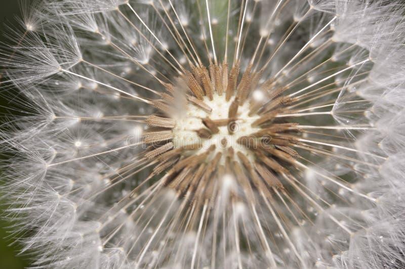 Dandelion sia zakończenie zdjęcia stock