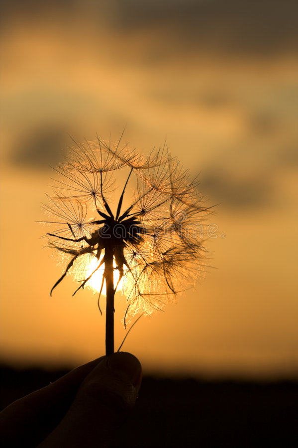 Download Dandelion Silhouette Royalty Free Stock Photography - Image: 3314797