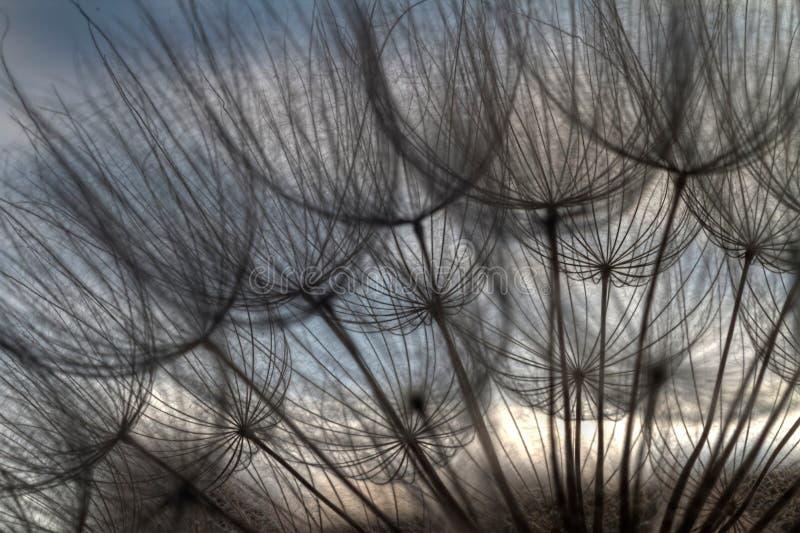 Dandelion Silhouette stock photo