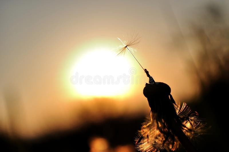 Dandelion silhouette at sunset royalty free stock photos