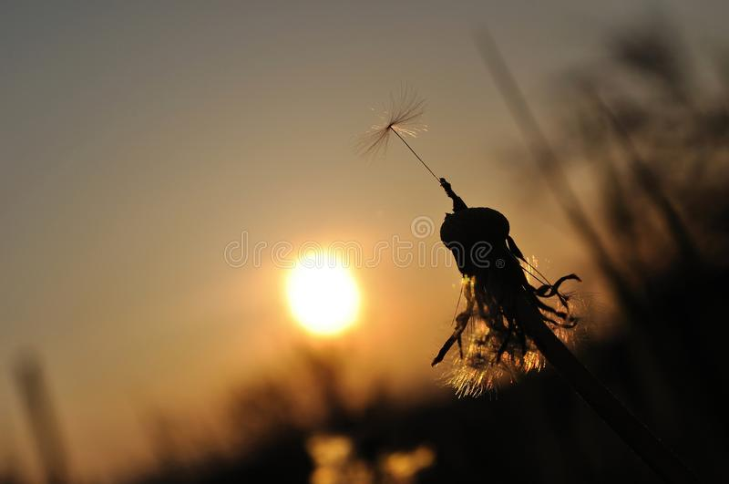 Dandelion silhouette at sunset royalty free stock photo