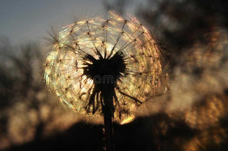 Dandelion silhouette at sunset royalty free stock photography