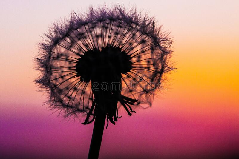 Dandelion Silhouetted By The Sunset  royalty free stock photo