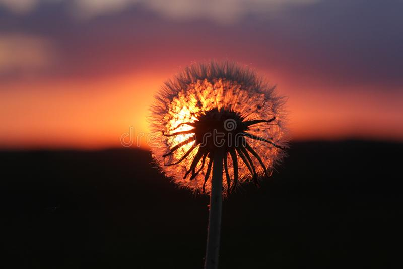 Dandelion Silhouetted in the Iowa Sunset royalty free stock image