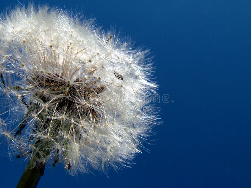 Download Dandelion In Sky Royalty Free Stock Images - Image: 516919
