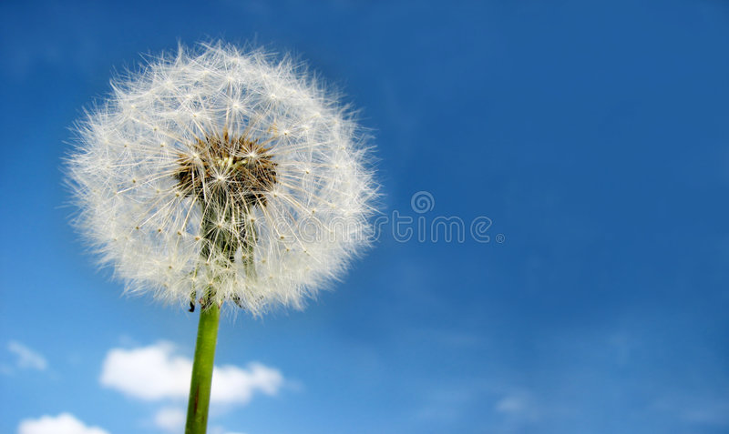 Dandelion on sky stock images