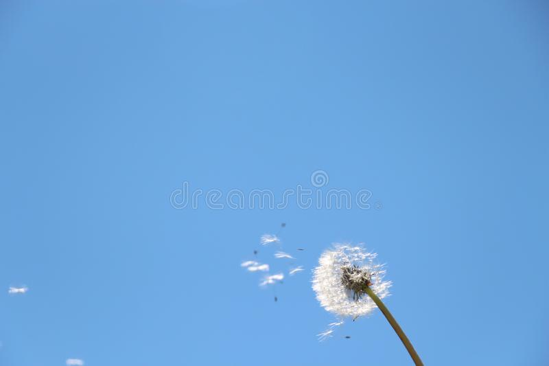 Dandelion on the sky background. Summer stock image