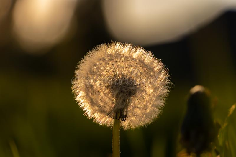 Dandelion spreading it`s seeds by wind royalty free stock image