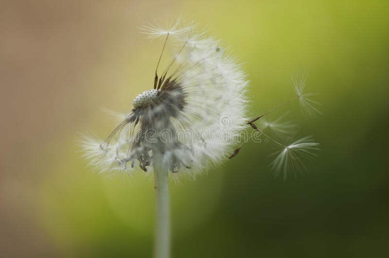 Dandelion spreading seeds. Detail of dandelion spreading seeds royalty free stock image