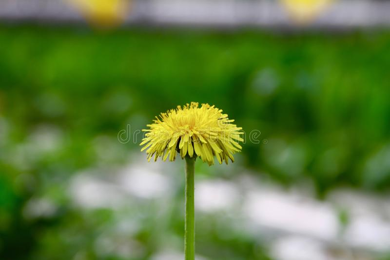 Dandelion in spring close up photo. Sunny summer day blooming flower stock photography