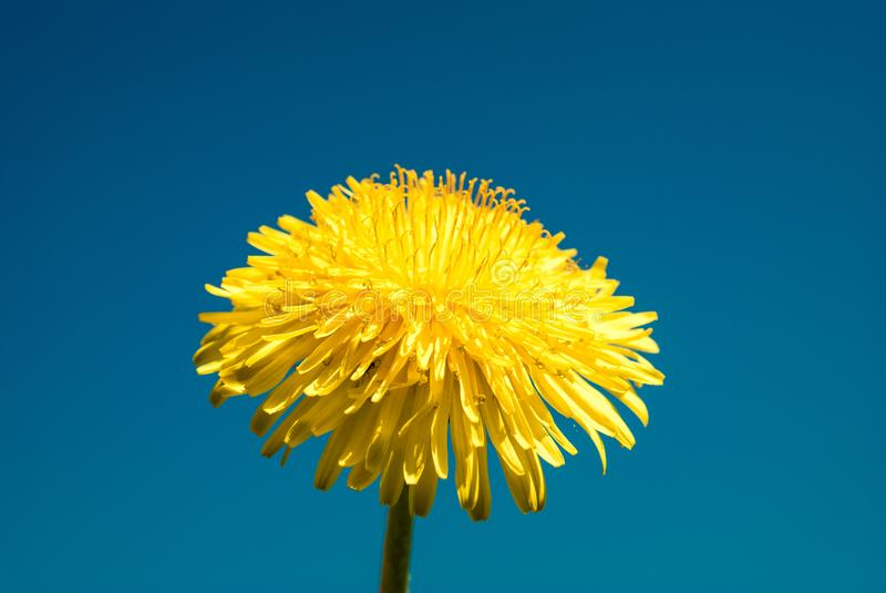 Dandelion - spring flower. Yellow flower on blue backgr. Ound stock photography