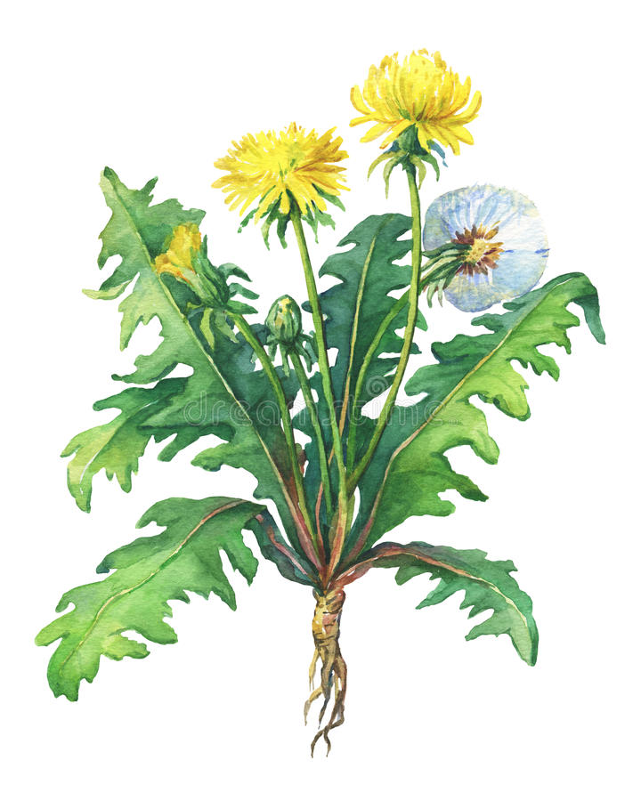 Dandelion spring flowers Taraxacum, blowball . royalty free illustration