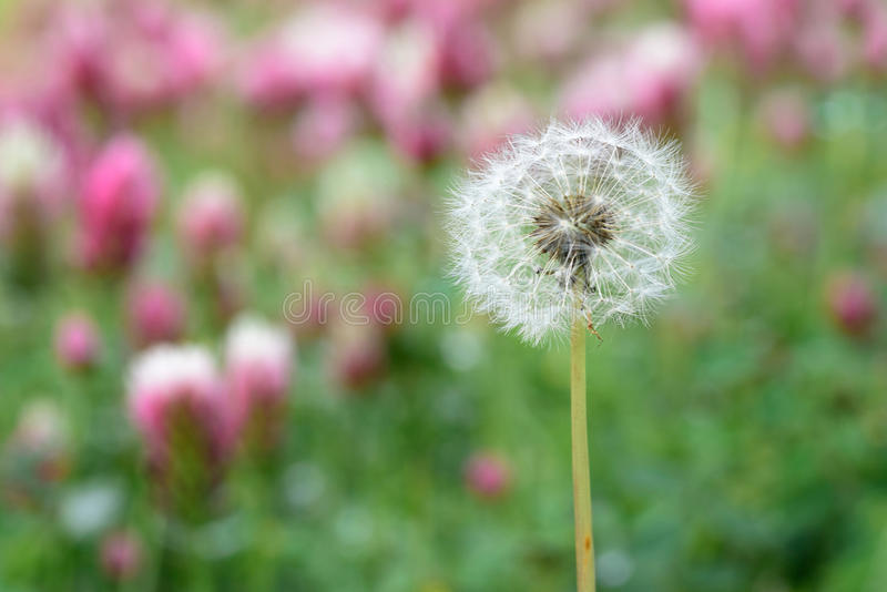 Dandelion in spring - may 2016 stock images