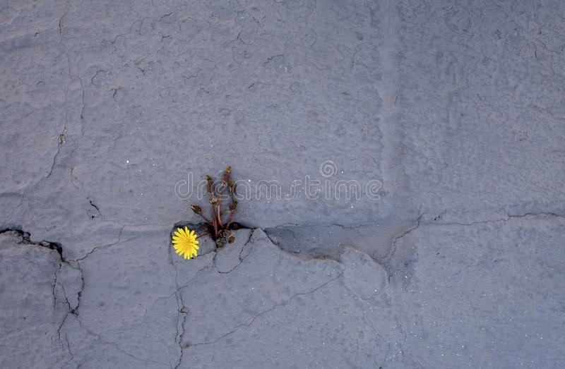 Dandelion sprouts through the concrete floor. The symbol of struggle and resistance. Concept: don `t give up no matter what, royalty free stock photo