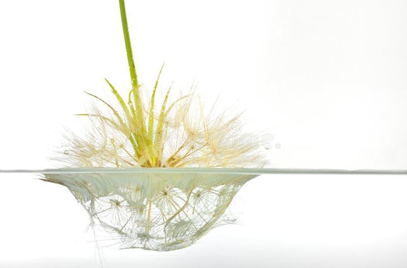 Dandelion submerged under water upside down. Macro photography on white background stock photos