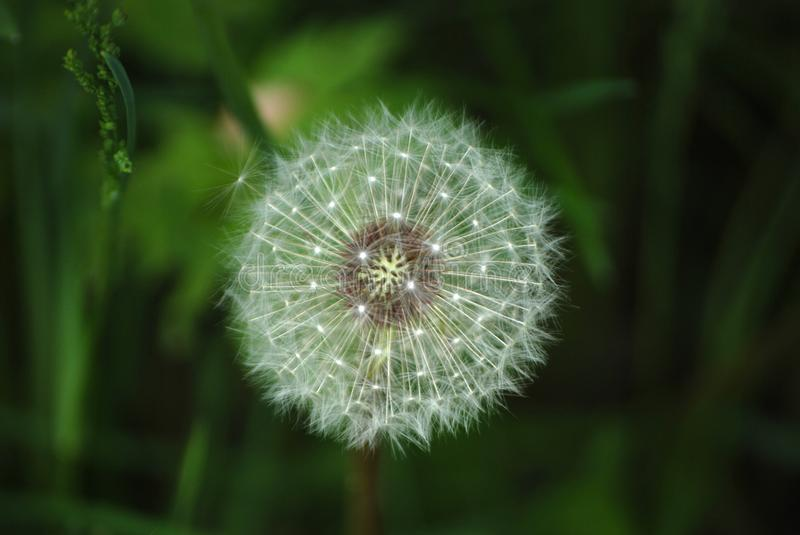 Dandelion in the summer against a background of green grass royalty free stock photo