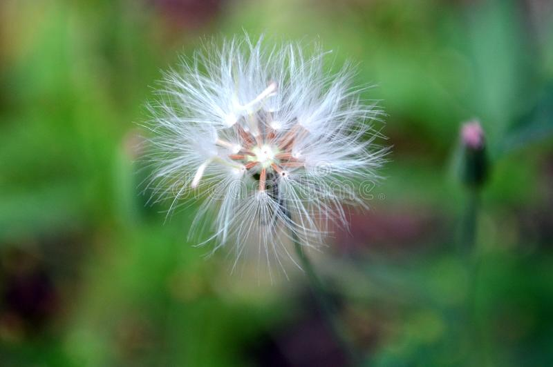 Dandelion On The Summer Day royalty free stock image