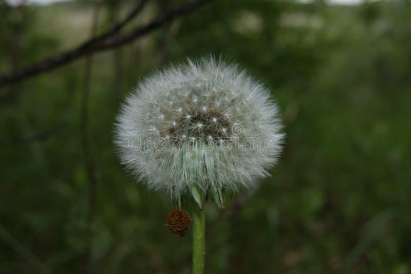 A dandelion stock photography