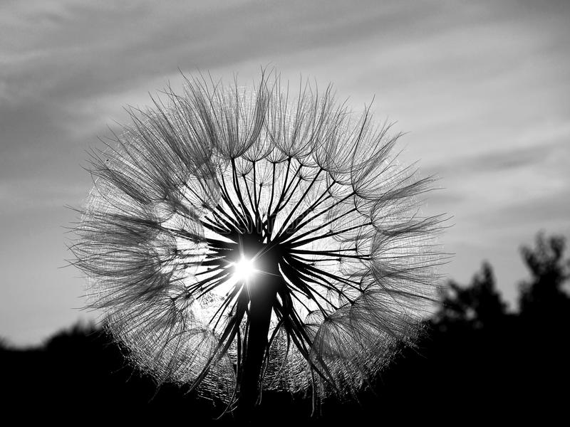 Dandelion in the sun. Dandelion head black and white in the sun on sunset background royalty free stock image