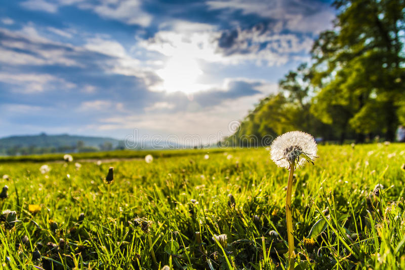 Dandelion in the sun royalty free stock photography
