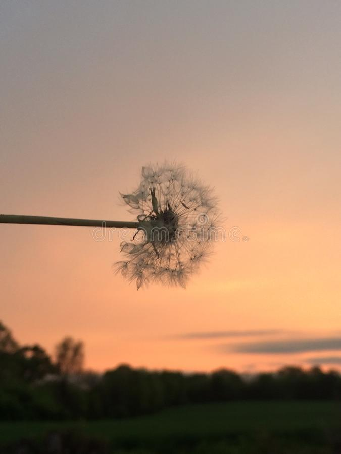 Dandelion in the Sunset stock images