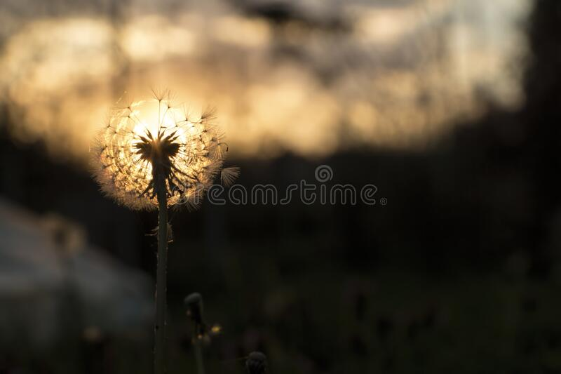 Dandelion and sunset royalty free stock photos