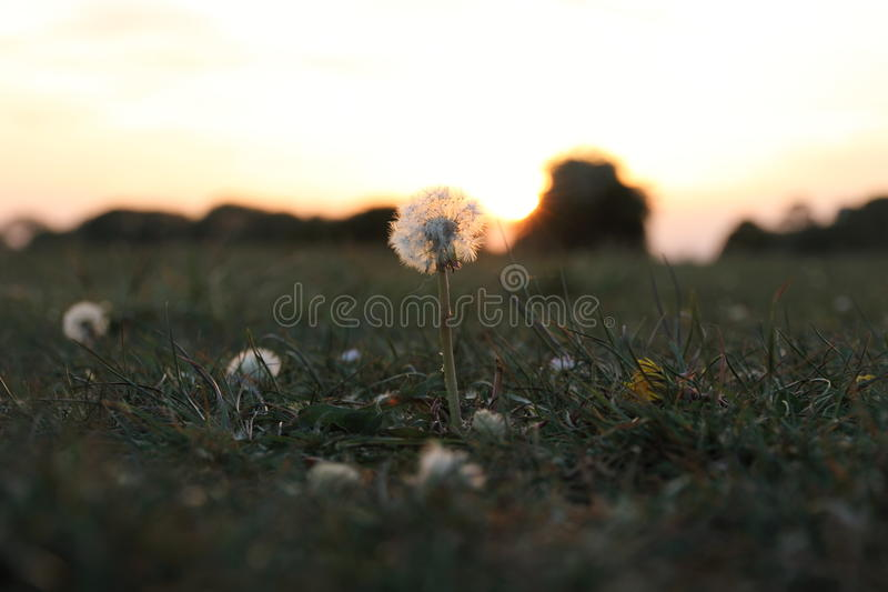 A Dandelion at Sunset stock image