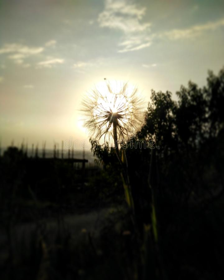 Dandelion at sunset royalty free stock images