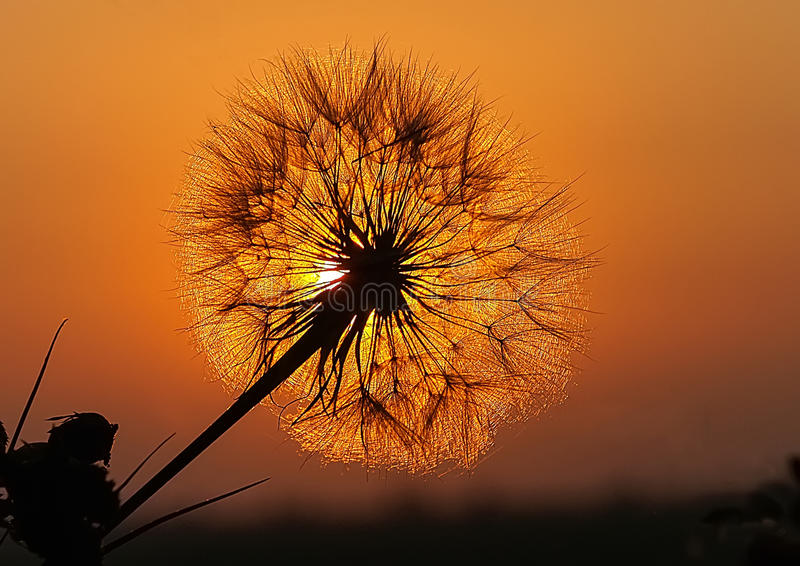 Dandelion on Sunset stock images