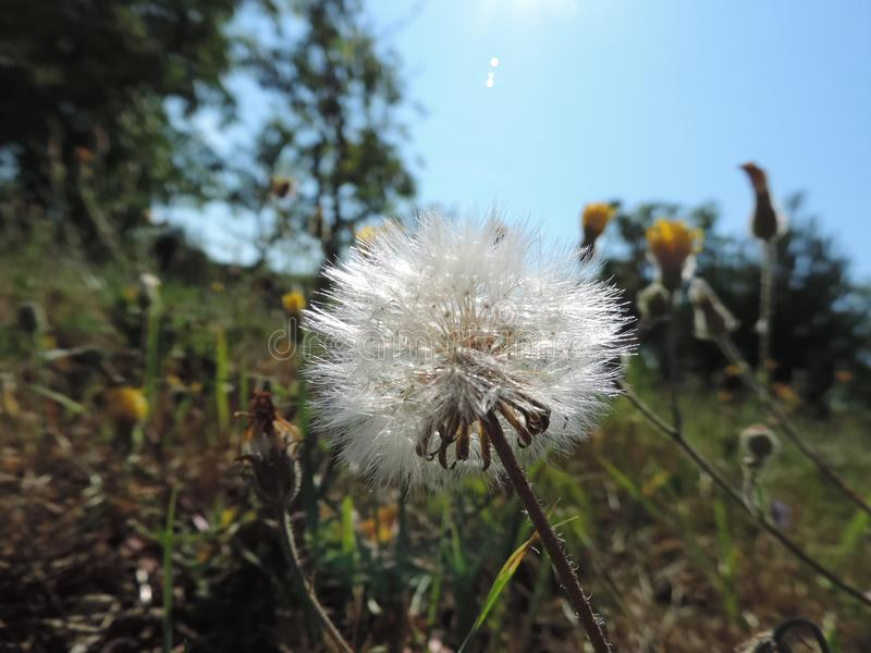 Dandelion in sunshine of summer. royalty free stock photography