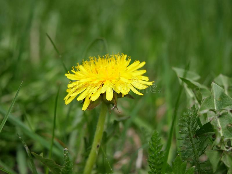 Dandelion at the swiss alps royalty free stock images