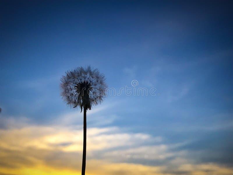 Dandelion sylwetka zdjęcia stock