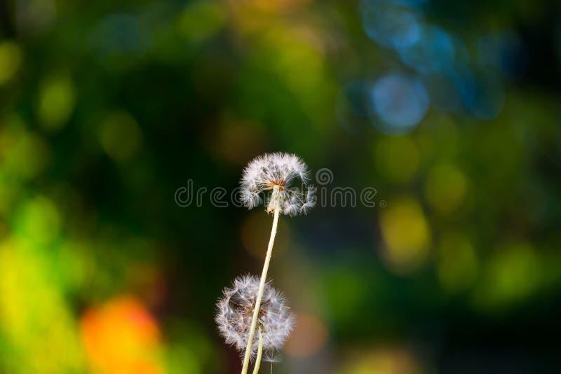 Dandelion, szczęsliwy urok na polu obraz stock