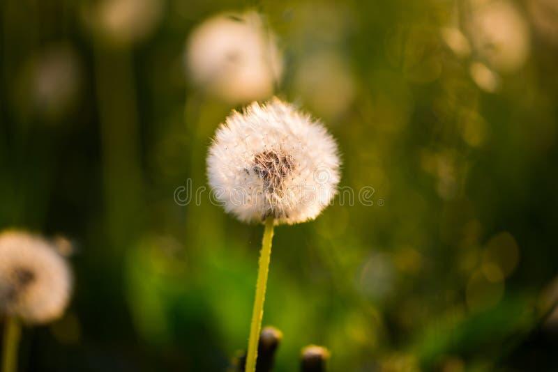 Dandelion, szczęsliwy urok na polu zdjęcia stock
